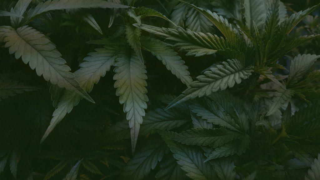 plante-de-Cannabis